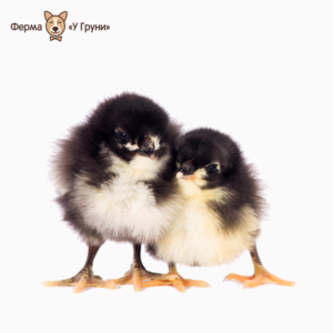 Австралорп чёрный - цыпленок