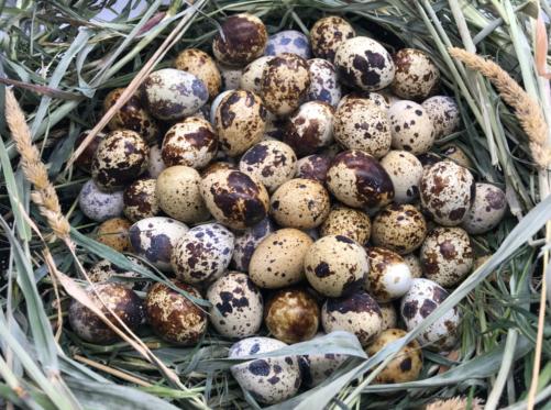 Перепелиные яйца фермерские